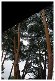 (13)五稜郭内に残るアカマツ
