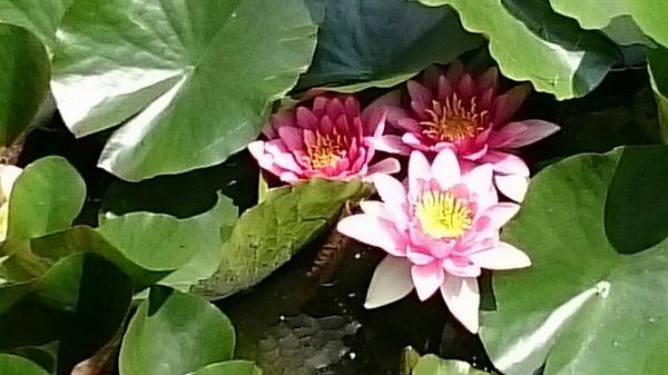 五稜郭蓮の花